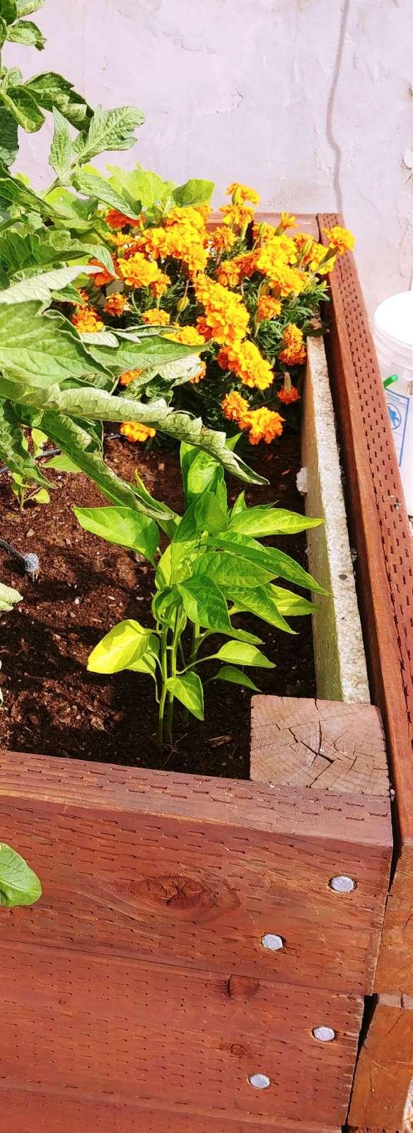 Garden 3 Pepper
